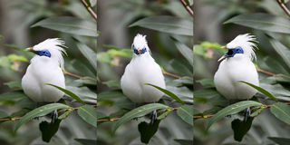 Balinese Mynah Bird Series. A series of three shots of a white Bali mynah bird in the aviary in Hong Kong park Stock Photos