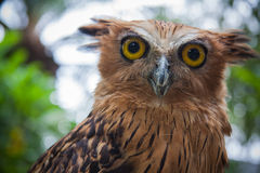 Balinese owl Royalty Free Stock Photography
