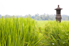 Balinese Paddy Field, Indonesia Royalty Free Stock Photo