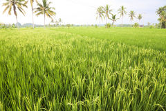 Balinese Paddy Field, Indonesia Royalty Free Stock Photos