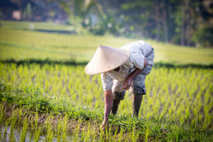 Balinese Rice Farmer Royalty Free Stock Photo