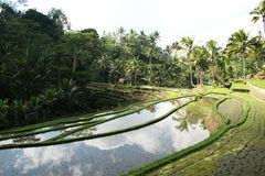 Balinese rice field Royalty Free Stock Photos