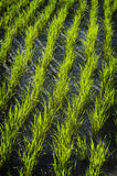 Balinese Rice Field Royalty Free Stock Photo