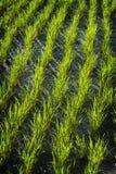 Balinese Rice Field Royalty Free Stock Photo