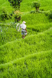 Balinese Rice Field Stock Image