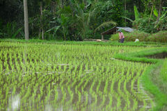Balinese rice fields. BALI - JANUARY 20. Balinese woman farmer caring for her rice field in Bali on January 20, 2012 in Bali, Indonesia. Rice is Asia's main food Royalty Free Stock Photos