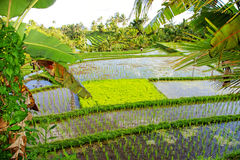 Balinese rice fields Stock Image