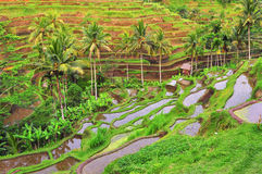 Balinese rice fields terrace Stock Image