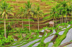 Balinese rice fields terrace detail Stock Images