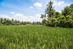 Balinese rice paddy Stock Photography