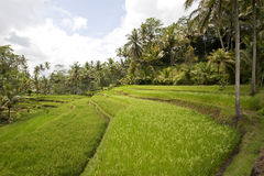 Balinese rice terraces Stock Images
