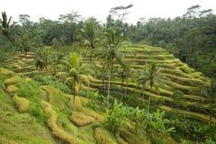 Balinese rice terraces Stock Photo