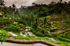 Balinese rice terraces Stock Image