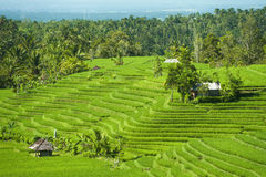 Balinese Rice Terraces Royalty Free Stock Images