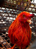 Balinese Rooster (cock) in a Cage Stock Images