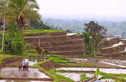 Balinese terraced rice field Royalty Free Stock Photography