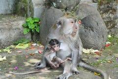 Balineseaffe mit ihrem Baby Stockbild