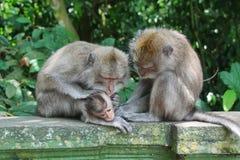 Balineseaffe mit ihrem Baby Lizenzfreies Stockfoto