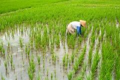 Balineselandwirt, der auf einem grünen Reisgebiet arbeitet landwirtschaft Lizenzfreies Stockbild