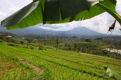 Balineseris terrasserar Jatiluwih Arkivfoto