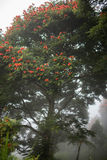 Baliness ha fiorito l'albero nella nebbia immagine stock