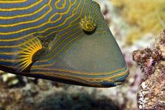 balistapus橙色镶边引金鱼undulatus 免版税库存图片