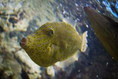Balistidae. In aquarium Royalty Free Stock Images