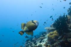 Balistidae triggerfish Royalty-vrije Stock Foto's