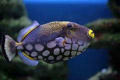 balistoides热带conspilum的鱼 免版税库存照片
