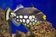 balistoides conspicillum κλόουν triggerfish Στοκ φωτογραφία με δικαίωμα ελεύθερης χρήσης