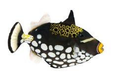 balistoides conspicillum κλόουν triggerfish Στοκ Εικόνα