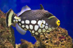Balistoides conspicillum (Clown Triggerfish). Clown Triggerfish (Balistoides conspicillum) in an aquarium royalty free stock photo