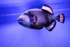 Balistoides viridescens fish. Close up royalty free stock images