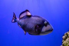 Balistoides viridescens fish. Close up stock images