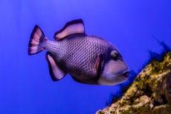 Balistoides viridescens fish. Close up royalty free stock photography