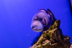 Balistoides viridescens fish. Close up royalty free stock image