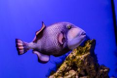 Balistoides viridescens fish stock images