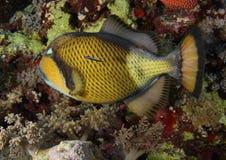 Balistoides viridescens - Red Sea Stock Photos