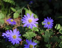 Balkan anemone, Grecian windflower or winter windflower, a lovely blue flower blooming early spring. Anemone blanda stock photography
