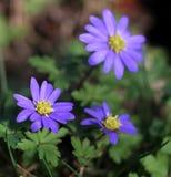 Balkan anemoon, Grecian windflower of de winter windflower, de mooie blauwe bloem bloeiende vroege lente Anemone Blanda stock foto