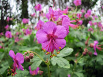 Balkan geranium (Geranium macrorrhizum) Royalty Free Stock Photos