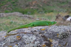 Balkan grön ödla (Lacertatrilineataen) Arkivfoton