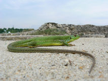 Balkan grön ödla (Lacertatrilineataen) Royaltyfria Bilder