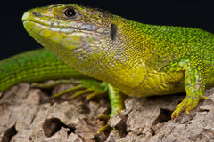 Balkan green lizard Stock Photo