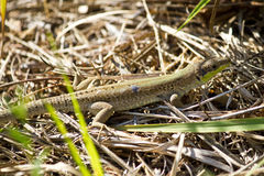Balkan green lizard, Lacerta trilineata. Island of Susak, Croatia Royalty Free Stock Photos