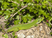 Balkan green lizard Royalty Free Stock Image