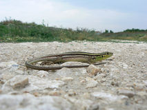 Balkan green lizard (Lacerta trilineata) Stock Images