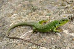 Balkan green lizard (Lacerta trilineata) Stock Images