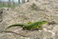 Balkan green lizard (Lacerta trilineata) Stock Photo