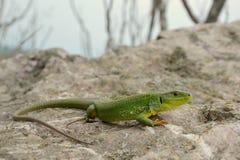 Balkan green lizard (Lacerta trilineata) Stock Image